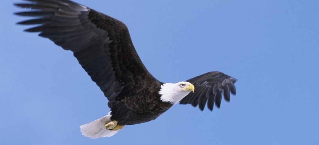 Report a Bald Eagle Sighting